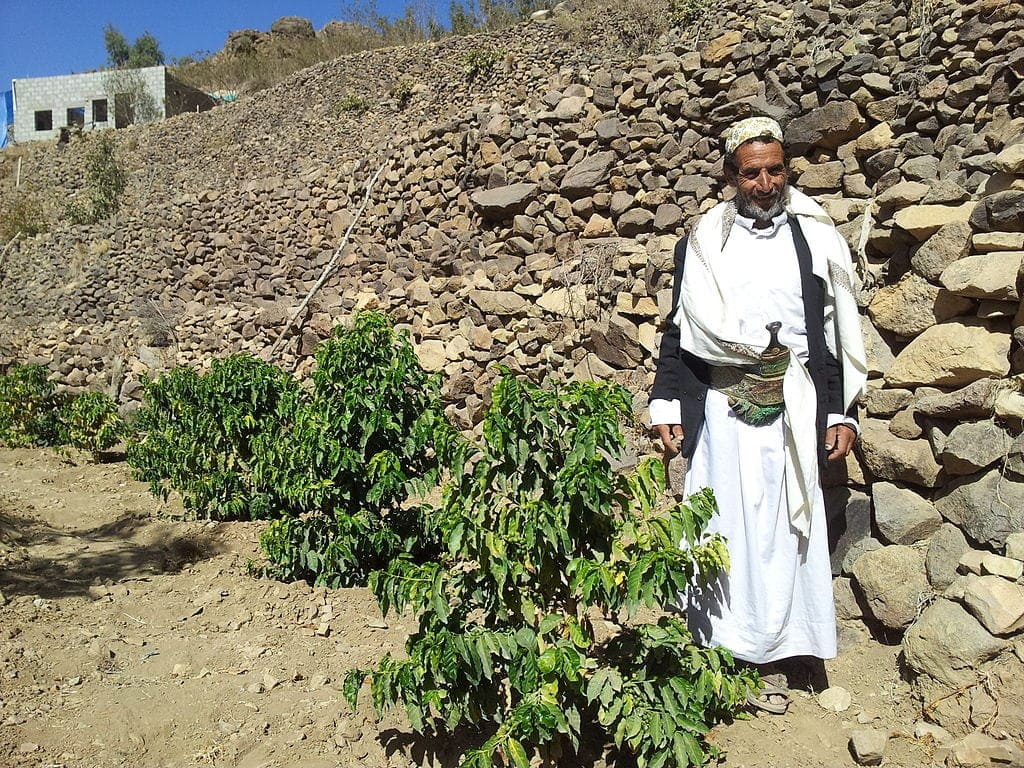 Coffee plantation in Yemen