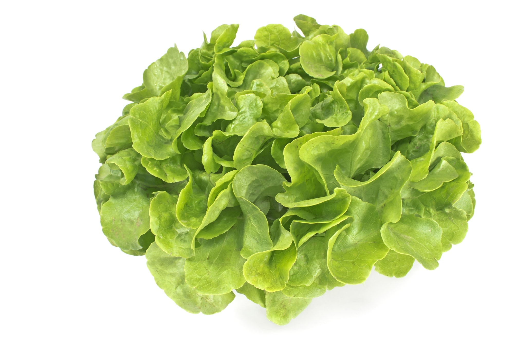 Fresh oak leaf lettuce isolated on white
