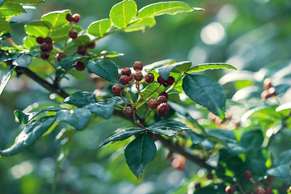 Brazilian Pepper fruits on tree in the nature